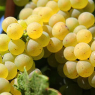 Vita de vie Tamaioasa Romaneasca butas de vita de vie, un soi romanesc valoros pentru vinuri aromate, Yurta