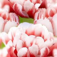 Voicemail (8 bulbi), lalele duble cu frumusete aparte, bulbi de flori