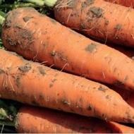 Warmia F1 - 25000 sem - Seminte de morcovi tip Flakkee (calibru seminte 1.6 - 1.8) cu radacina viguroasa forma conica si o greutate medie de 200-400 grame pastrandu-se foarte bine in conditii de depozitare pe termen lung de la Rijk Zwaan