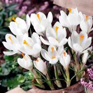 Yeanne D' Arc (12 bulbi), branduse alb imaculat, bulbi de flori