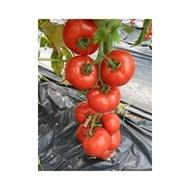 Yigido F1-100sem.-seminte de rosii hibrid pt.sere si solarii de la Seminis