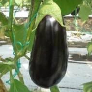 Zinki F1 EGP10024 - 500 sem - Seminte de vinete cu fructe oval alungite ferme uniforme de culoare neagra lucioasa la exterior putine seminte si greutate medie de 450-500 de grame/fruct de la Esasem