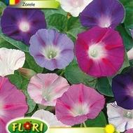Zorele - Seminte Flori Zorele Planta Agatatoare Ornamentala de la Florian