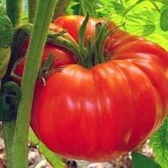 Rosii Zmeura Gigant (Malinowy Olbrzym) – 0.5 gr – Seminte Tomate tip Gigant Roz Soi cu Crestere Nedeterminata origine Polonia