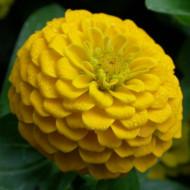 Carciumarese mari galbene (120 seminte) de flori carciumareasa galbena