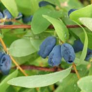 Afin Siberian - Boabe de Miere (1 m in ghiveci de 2 L), butasi de Lonicera kamtschatica Morena cu fructe suculente, gustoase, vitaminizante si hipotensive