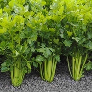Afina - 50 grame - Seminte de telina de frunze ce permite recoltari repetate si un gust deosebit de la Bejo