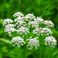 Anason Medicinal (2 grame) seminte planta anuala aromatica, miros puternic, Agrosem