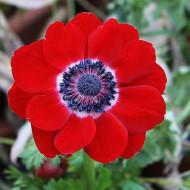 Anemone rosii Hollandia (10 bulbi), anemone culoare rosu fermecator, bulbi de flori