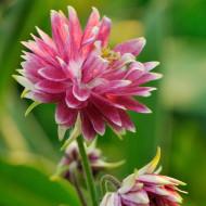 Aquilegia Nora Barlow (2 bulbi), plante perene cu flori duble cu petale roz cu alb, bulbi de flori