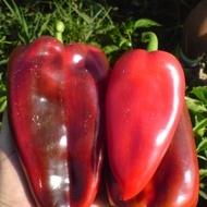Ardei Capia PALANACICO CUDO (Minunea Palanacko) - 2 gr - Seminte Ardei Capia Fructe Mari Soi Semitimpuriu