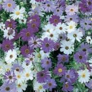 Banutei australieni (0.1 grame) seminte de flori planta anuala cu multe ramificatii, Agrosem