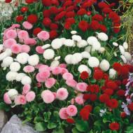 Banutei mix (0.15 grame) seminte de flori planta anuala cu multe ramificatii, Opal