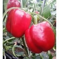 Batory F1 - 1000 sem - Seminte de ardei gras tip Blocky cu crestere nedeterminata ce poate fi plantat pe tot parcursul anului avand o greutate de 200-350 grame si un gust excelent de la Duna-R