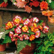 Begonie Marginata Yellow and Red (3 bulbi), floare mare, culoare galben cu rosu, bulbi de flori