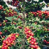 Cafea Arabica - 3 gr - Seminte de Cafea Arabica