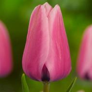 Capri Dream ( 8 bulbi), lalele roz, bulbi de flori