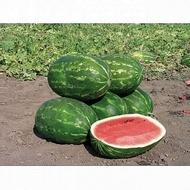 Caravan F1 - 500 sem - Seminte de pepene verde fruct alungit de foarte buna calitate de la Nunhems