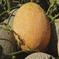 Carierre F1 - 500 sem - Seminte de pepene galben tip ananas timpuriu miez portocaliu fruct oval solar camp de la Nunhems