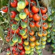 Cheramy F1 - 100 sem - Seminte de rosii ce fructifica excelent chiar si in conditii climatice dificile cu un potential de productie foarte ridicat de la Rijk Zwaan