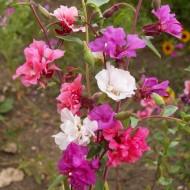 Clarkia mix (0,5 g), seminte de planta anuala cu flori roz, albe, violet, simple sau duble, Agrosem
