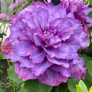 Clematite Vyvyan Pennell (1.5 m in ghiveci de 2 L), tufa ornamentala cataratoare Clematis, varietate premiata, cu flori duble, mari, colorate in violet-albastru cu atingeri de purpuriu-carmin in centru