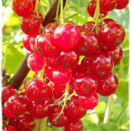 Coacaz rosu Rolan, butasi de coacaze rosii cu fructe mari, cu gust placut acrisor, Yurta