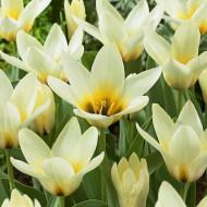 Concerto (5 bulbi), lalele botanice de culoare alba cu usoara tenta de galben, bulbi de flori