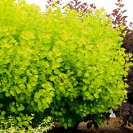 Cotinus Golden Spirit (ghiveci 1,5 L), arbust decorativ cu frunze galben-verzui
