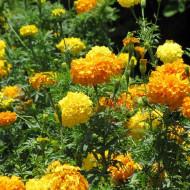 Craite inalte mix (0.5 grame) seminte de craite cu flori mari galbene si portocalii (Tagetes erecta)