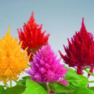 Creasta Cocosului plumosa mix (0,4 g), seminte de planta anuala cu flori viu colorate, stralucitoare, galbene, rosii, roz, Agrosem