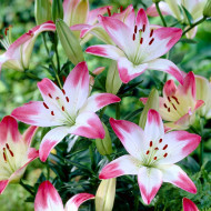 Crin Asiatic Pink & White (2 bulbi), frumusete si gingasie, bulbi de crin