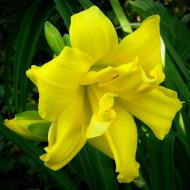 Crin Hemerocallis Double River Wye (ghiveci 1,5 L), crin de o zi cu flori mari, gofrate, batute, culoare galben cremos