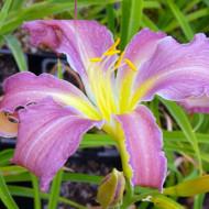 Crin Hemerocallis Exotic Spider (ghiveci 1,5 L), crin de o zi cu flori mari, usor gofrate, culoare roz-lavanda cu galben