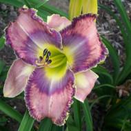 Crin Hemerocallis Mildred Mitchell (ghiveci 1,5 L), crin de o zi cu flori mari, deosebite, colorate roz, violet si galben