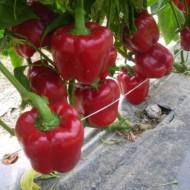 CRX 61035 - 500 sem - Seminte de ardei gras tip California foarte productiv si indicat pentru culturi in camp sere sau solarii de la Cora Seeds