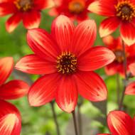 Dalie Dahlegria Bicolor (1 bulb), dalie superba cu petale simetrice, intr-o combinatie uimitoare de stacojiu si galben luminos, bulbi de flori