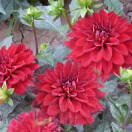 Dalie Gallery Singer (1 bulb), floare culoare mov, pitica, bulbi de flori