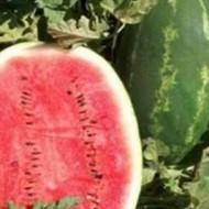 Early Samanta F1 - 500 sem - Seminte de pepene verde cu pulpa de culoare rosie intensa iar greutatea fructului fiind de 9-10 kg excelent pentru cultivarea in spatii protejate cat si in camp de la United Genetics