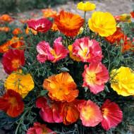 Esoltia mix (1 g), seminte de flori duble sau simple, mix de culori, Opal
