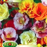 Esoltia - Seminte Flori Esoltia Planta Anuala de la Florian