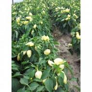 Feherozon - 1000 sem - Seminte de ardei gras cu crestere determinata cu capacitate de crestere medie de la Zki