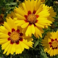 Flori de Vara Galbene Mix  - Seminte Flori de Vara Galbene de la Florian