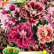 Garoafa Mix - Seminte Flori Garoafa Mix de la Florian
