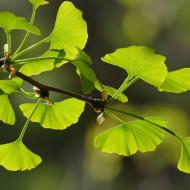 Ginkgo biloba, butas de arbore medicinal pentru afectiuni circulatorii, Yurta
