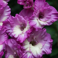 Gladiole Anouk (7 bulbi), gladiole cu flori mari, ondulate, intr-o combinatie superba de roz-violet si alb, bulbi de flori