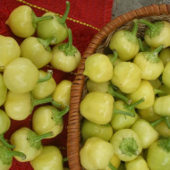 Gogosar Mic Iute (2 gr), seminte de ardei iute tip gogosar mic Iute, Opal