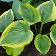 Hosta Victory (ghiveci 1,5 L), planta decorativa cu frunze foarte mari, verzi-albastrui cu margini galbene