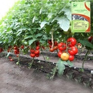 Jastis F1 (500 seminte), seminte rosii crestere nedeterminata, Hazera
