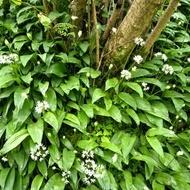 Leurda Medicinala (100 seminte) de Leurda sau usturoi salbatic, cu Gust si Aroma de Usturoi, Opal
